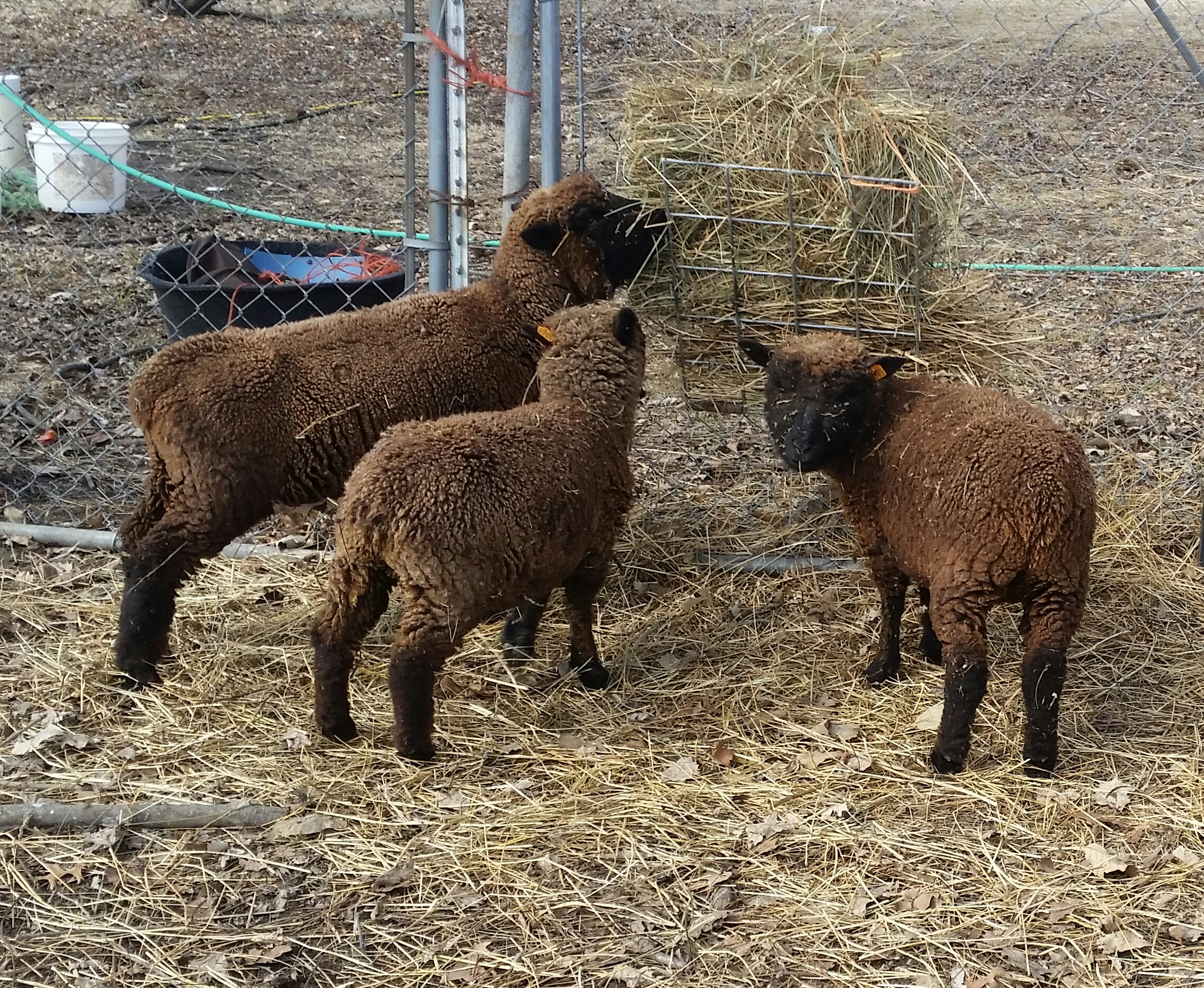 Gladhour Farm Dexter Cattle Babydoll Sheep Natural Meats